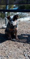 Blue Healer Puppies for sale in Rigby, ID 83442, USA. price: NA