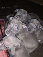Blue Lacy Puppies Photos