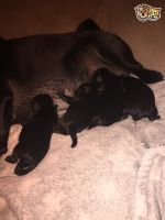 Blue Paul Terrier Puppies Photos