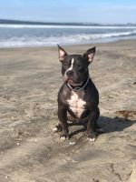 Blue Paul Terrier Puppies for sale in San Diego, CA 92154, USA. price: NA