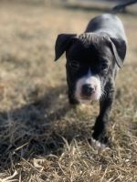 Blue Paul Terrier Puppies for sale in 5835 W 10th St, Indianapolis, IN 46224, USA. price: NA