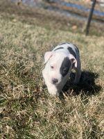 Blue Paul Terrier Puppies Photos
