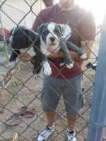 Blue Picardy Spaniel Puppies for sale in California St, San Francisco, CA, USA. price: NA