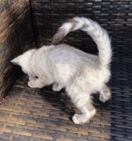 Blue Russian Cats for sale in Adairsville, GA 30103, USA. price: NA