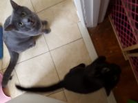 Blue Russian Cats for sale in Warrenton, VA, USA. price: NA
