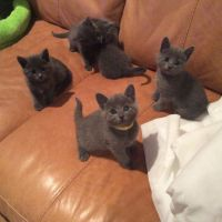 Blue Russian Cats for sale in Indianapolis, IN, USA. price: NA