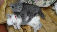 Blue Russian Cats for sale in New York, NY, USA. price: NA