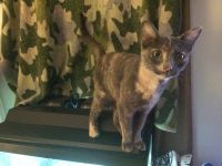 Blue Russian Cats for sale in Columbus, OH 43216, USA. price: NA