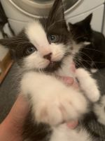 Blue Russian Cats for sale in NE 78th St, Vancouver, WA, USA. price: NA