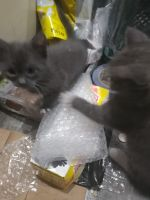 Blue Russian Cats for sale in San Jose, CA 95116, USA. price: NA