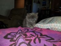 Blue Russian Cats for sale in Mesa, AZ, USA. price: NA