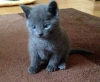 Blue Russian Cats for sale in Douglasville, GA, USA. price: NA