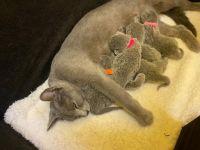 Blue Russian Cats for sale in Ridgeway, VA 24148, USA. price: NA