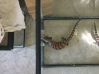 Blue-Tongued Skink Reptiles for sale in Buffalo, NY, USA. price: NA