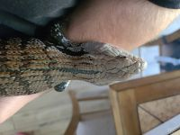Blue-Tongued Skink Reptiles for sale in Citrus County, FL, USA. price: NA