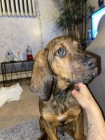 Bluetick Coonhound Puppies for sale in Oxford, Oxford Charter Township, MI 48371, USA. price: NA