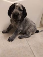 Bluetick Coonhound Puppies for sale in Stillwater, MN 55082, USA. price: NA