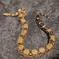 Boa constrictor Reptiles for sale in Albuquerque, NM, USA. price: NA