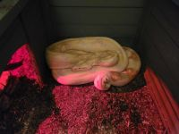 Boa constrictor Reptiles for sale in Melbourne, FL 32935, USA. price: NA