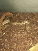 Boa constrictor Reptiles for sale in Philadelphia, PA, USA. price: NA