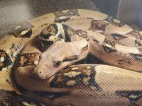 Boa constrictor Reptiles Photos