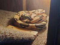 Boa constrictor Reptiles for sale in Ridgefield, WA 98642, USA. price: NA