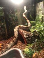 Boa constrictor Reptiles for sale in Atlanta, GA, USA. price: NA