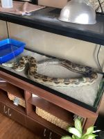 Boa constrictor Reptiles for sale in Altoona, IA, USA. price: NA