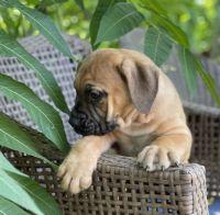Boerboel Puppies for sale in Omaha City Hall, 1819 Farnam St, Omaha, NE 68183, USA. price: NA