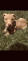 Boerboel Puppies for sale in Gulf Shores, AL 36542, USA. price: NA