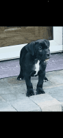 Boerboel Puppies for sale in Carteret, NJ 07008, USA. price: NA