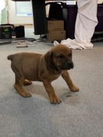 Boerboel Puppies for sale in Texas City, TX, USA. price: NA