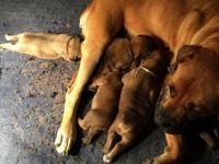 Boerboel Puppies for sale in Henagar, AL, USA. price: NA