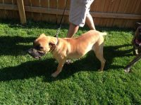 Boerboel Puppies for sale in Hobart, IN, USA. price: NA
