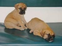 Boerboel Puppies for sale in Roseville, CA, USA. price: NA