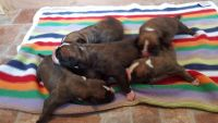Boerboel Puppies for sale in Indianapolis, IN, USA. price: NA
