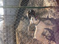 Boerboel Puppies for sale in Fort Wayne, IN, USA. price: NA