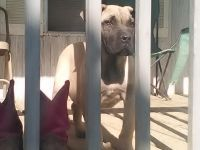 Boerboel Puppies for sale in Greeneville, TN, USA. price: NA