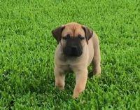 Boerboel Puppies for sale in Cincinnati, OH, USA. price: NA