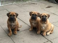 Boerboel Puppies for sale in Georgetown, GA, USA. price: NA