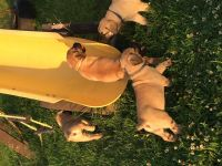 Boerboel Puppies for sale in Columbus, OH, USA. price: NA