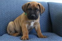 Boerboel Puppies for sale in Canton, OH, USA. price: NA