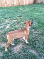 Boerboel Puppies for sale in Covington, GA, USA. price: NA