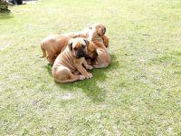 Boerboel Puppies for sale in Norwalk, CA, USA. price: NA