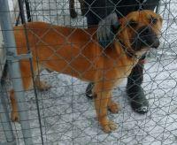 Boerboel Puppies for sale in Sturgis, MI 49091, USA. price: NA