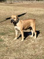 Boerboel Puppies for sale in Chesapeake, VA, USA. price: NA