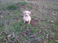 Boerboel Puppies for sale in Acworth, GA, USA. price: NA