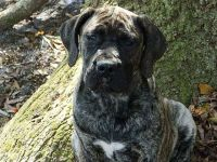 Boerboel Puppies for sale in McIntosh Rd, Thonotosassa, FL 33592, USA. price: NA