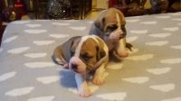 Boerboel Puppies for sale in Seattle, WA, USA. price: NA