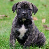Boerboel Puppies for sale in Georgia Dome Dr, Atlanta, GA 30313, USA. price: NA